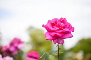 バラの花の写真素材 [FYI01265181]