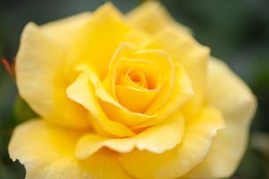 バラの花の写真素材 [FYI01265182]