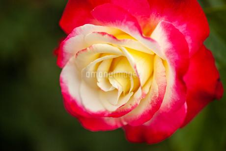 バラの花の写真素材 [FYI01265183]