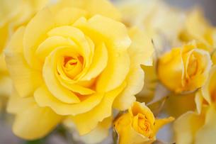 バラの花の写真素材 [FYI01265184]