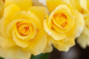 バラの花の写真素材 [FYI01265185]