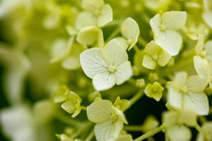 紫陽花の写真素材 [FYI01265186]