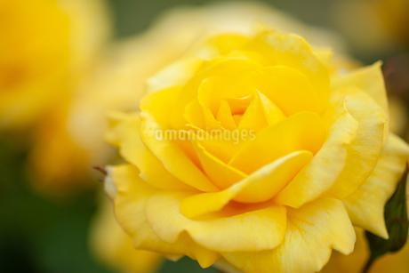バラの花の写真素材 [FYI01265187]