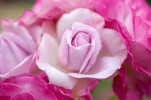 バラの花の写真素材 [FYI01265188]