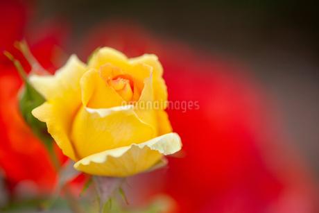 バラの花の写真素材 [FYI01265190]