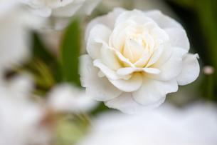 バラの花の写真素材 [FYI01265192]