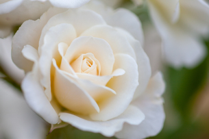 バラの花の写真素材 [FYI01265193]