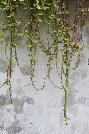 古い白い壁に垂れる植物の写真素材 [FYI01265207]