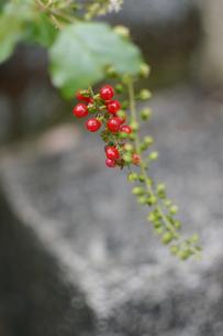路地裏に生える赤い実の植物の写真素材 [FYI01265208]