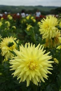 サンパウロ市近郊で栽培されているダリアの写真素材 [FYI01265569]