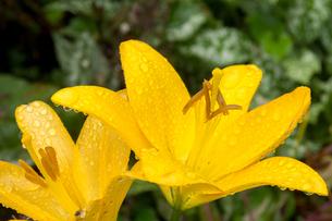 雨上がりの黄色の百合の写真素材 [FYI01265606]