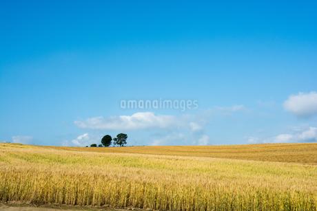色づいた麦畑と夏の空の写真素材 [FYI01265609]