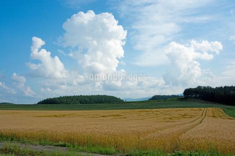 色づいた麦畑と夏の空の写真素材 [FYI01265610]