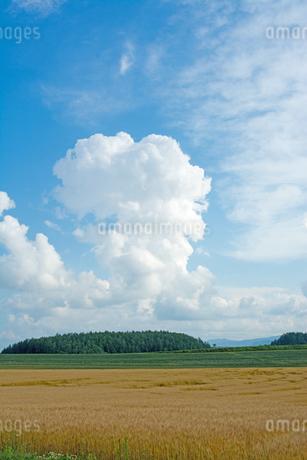 色づいた麦畑と夏の空の写真素材 [FYI01265612]
