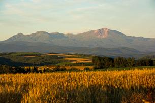 夕日に光るムギ畑と夏の山並み 大雪山の写真素材 [FYI01265616]