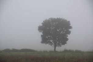 朝靄の中に立つ木の写真素材 [FYI01265620]