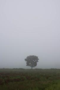 朝靄の中に立つ木の写真素材 [FYI01265622]