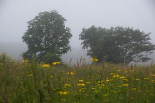 朝靄の中に立つ木の写真素材 [FYI01265623]