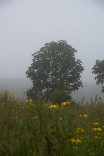 朝靄の中に立つ木の写真素材 [FYI01265624]