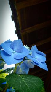 古民家の軒下に咲く青い紫陽花(アジサイ)の写真素材 [FYI01265833]
