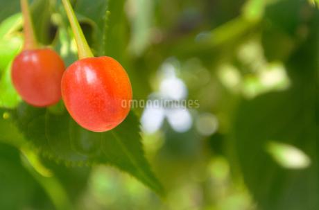 河津桜(カワヅザクラ)の赤い実の写真素材 [FYI01265840]