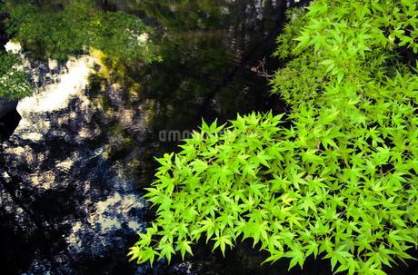 水辺に広がる春葉のもみじの写真素材 [FYI01265841]