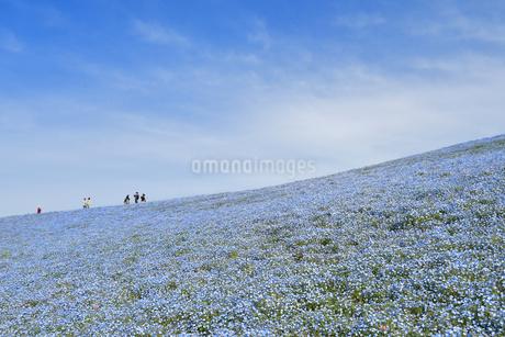 ひたち海浜公園のネモフィラの写真素材 [FYI01265990]