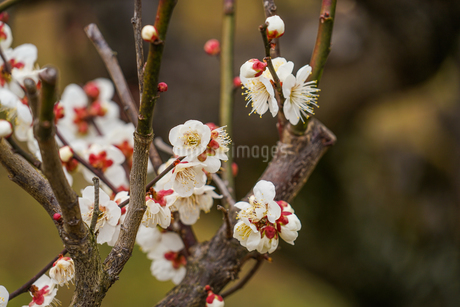 梅のイメージの写真素材 [FYI01266077]