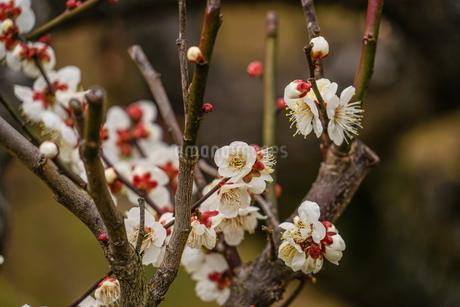 梅のイメージの写真素材 [FYI01266078]