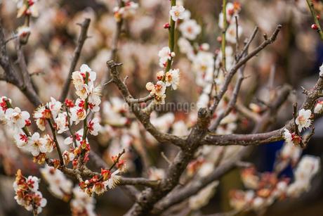 梅のイメージの写真素材 [FYI01266079]
