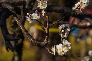 梅のイメージの写真素材 [FYI01266081]