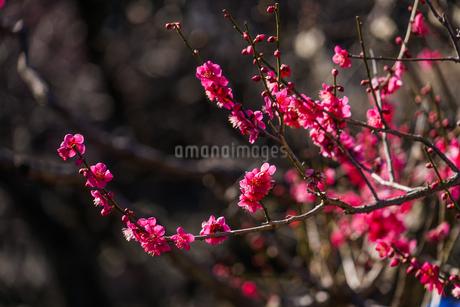 梅のイメージの写真素材 [FYI01266082]