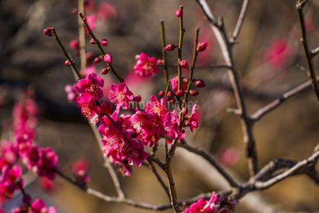 梅のイメージの写真素材 [FYI01266083]