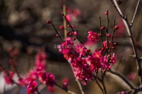 梅のイメージの写真素材 [FYI01266084]