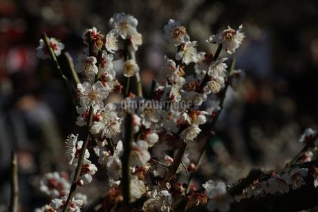 梅のイメージの写真素材 [FYI01266085]