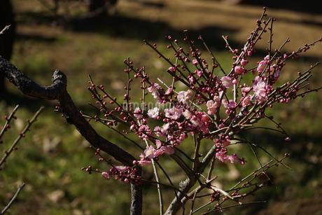梅のイメージの写真素材 [FYI01266086]