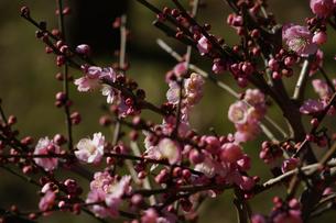 梅のイメージの写真素材 [FYI01266087]