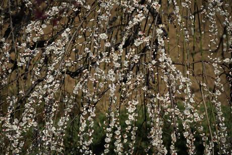梅のイメージの写真素材 [FYI01266088]