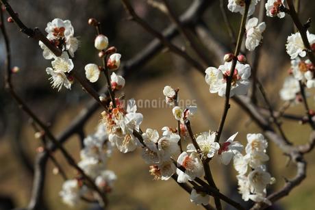梅のイメージの写真素材 [FYI01266089]