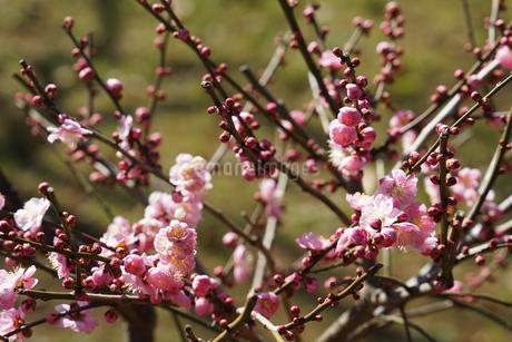 梅のイメージの写真素材 [FYI01266090]