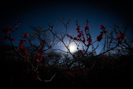 梅のイメージの写真素材 [FYI01266091]