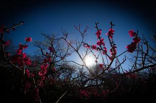 梅のイメージの写真素材 [FYI01266092]