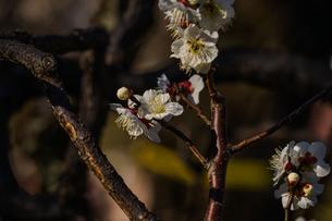 梅のイメージの写真素材 [FYI01266094]