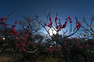 梅のイメージの写真素材 [FYI01266096]