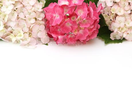 紫陽花の写真素材 [FYI01266115]