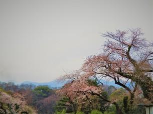桜の風景の写真素材 [FYI01266162]