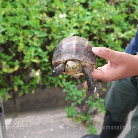 石垣島の路上を歩いていた天然記念物のヤエヤマセマルハコガメ の写真素材 [FYI01266179]