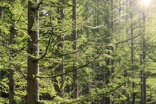 春のカラマツの森の写真素材 [FYI01266187]