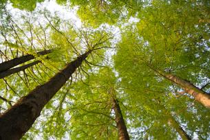 新緑の葉に包まれた真っ直ぐ伸びる木の写真素材 [FYI01266347]