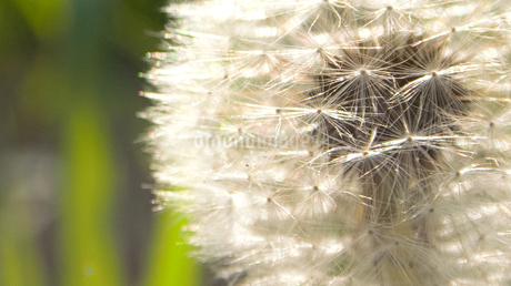 タンポポの綿毛の写真素材 [FYI01266348]